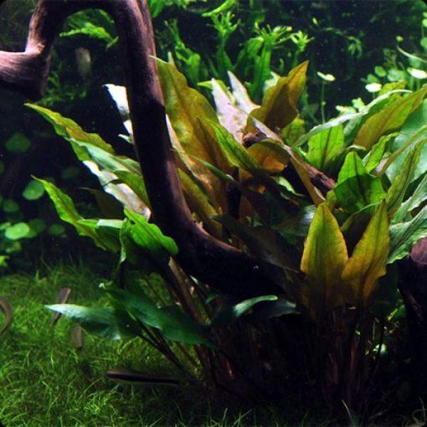 Cryptocoryne-undulata-broad-leaves-1