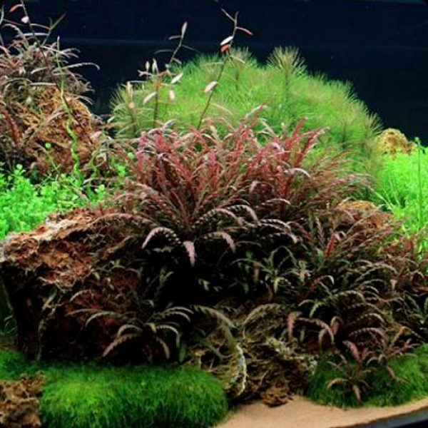 Hygrophila-pinnatifida-1