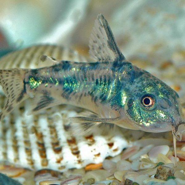 Paleatus-mužjak
