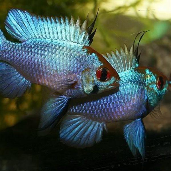 Plavi-ramirezi-macro