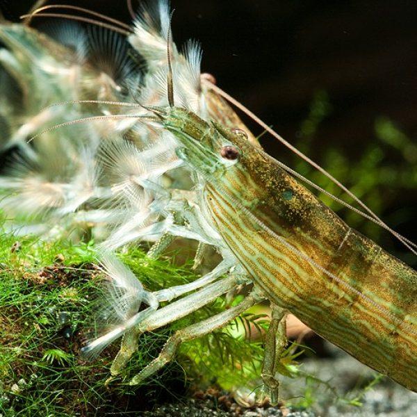 filter-šrimp-atyopsis_moluccensis_3-510x600