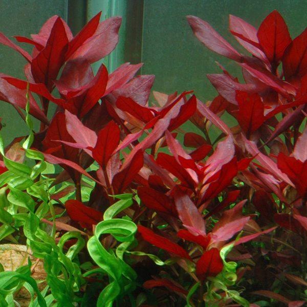 ludwigia-rubin-2