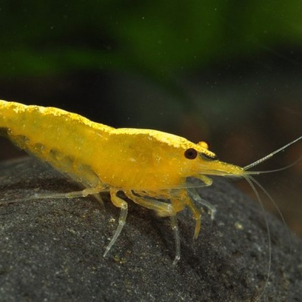 yellow-shrimp-2-510x404