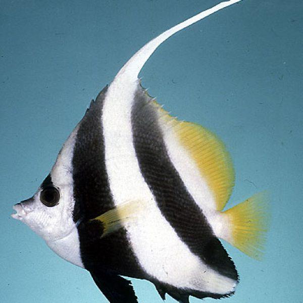 Pennant Coral fish